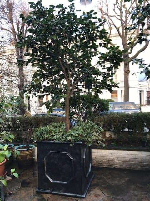 80x80x80cm faux lead Chelsea cube planted with a standard Camellia and Ivy