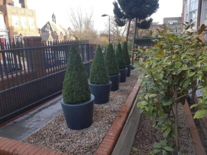Acer Tapered Column Adezz Fibreglass Planter Ral 7016 Planted With Buxus Cone