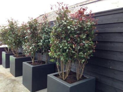 Buxus Cube | Adezz Fibreglass Planter