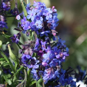 Anchusa azurea Dropmore approx 25 seeds