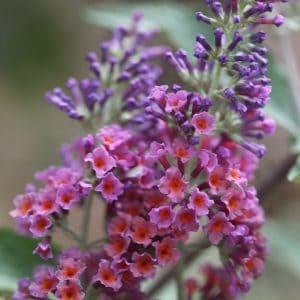 Buddleja × weyeriana Bicolor 2 litre pot
