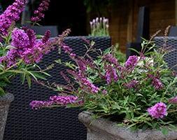 Buddleja Free Petite Dark Pink ('Podaras No 10') (PBR) (butterfly bush Free Petite)