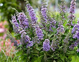Buddleja High Five Purple ('Podcept1') (PBR) (butterfly bush)