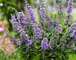Buddleja High Five Purple ('Podcept1') (PBR) (butterfly bush)